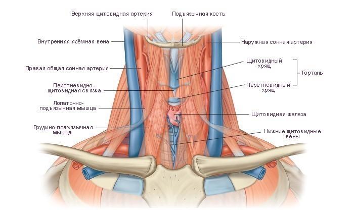 Анатомия мягких тканей шеи