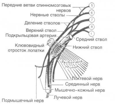плечевых нервных сплетений