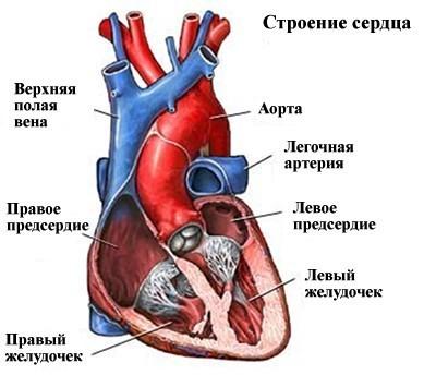 Возрастные изменения сердца