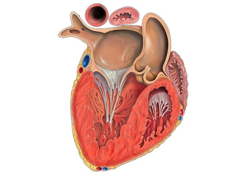 Гипертрофия левого желудочка: описание заболевания